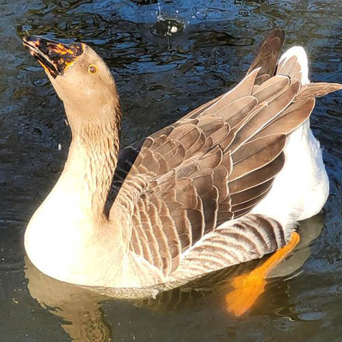 """picture of the goose named """"the Big Boi"""""""