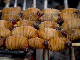 How an edible larva is putting palm trees in danger