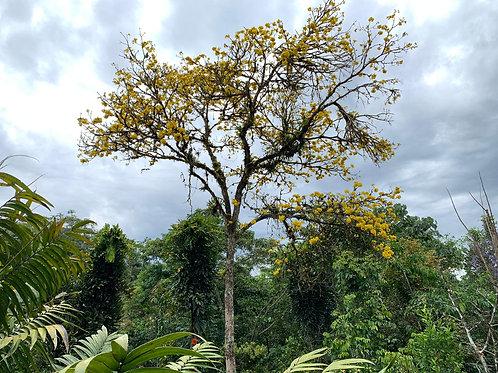 Proteger los árboles de las especies en peligro de extinción durante un año.