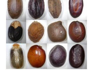 Pesquisador do Peld Catimbau lança guias para a identificação de sementes do Parque Nacional do Cati