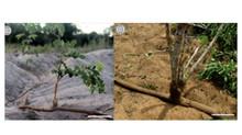Espécies com rebrota na Caatinga podem possuir extensa propagação clonal