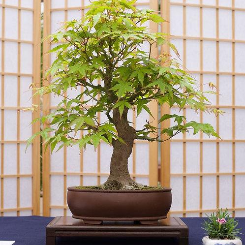 Bonsai Tree Seed Grow Kit