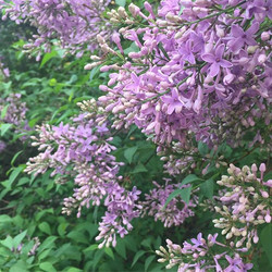 The sweet fragrance of lilac fills the s
