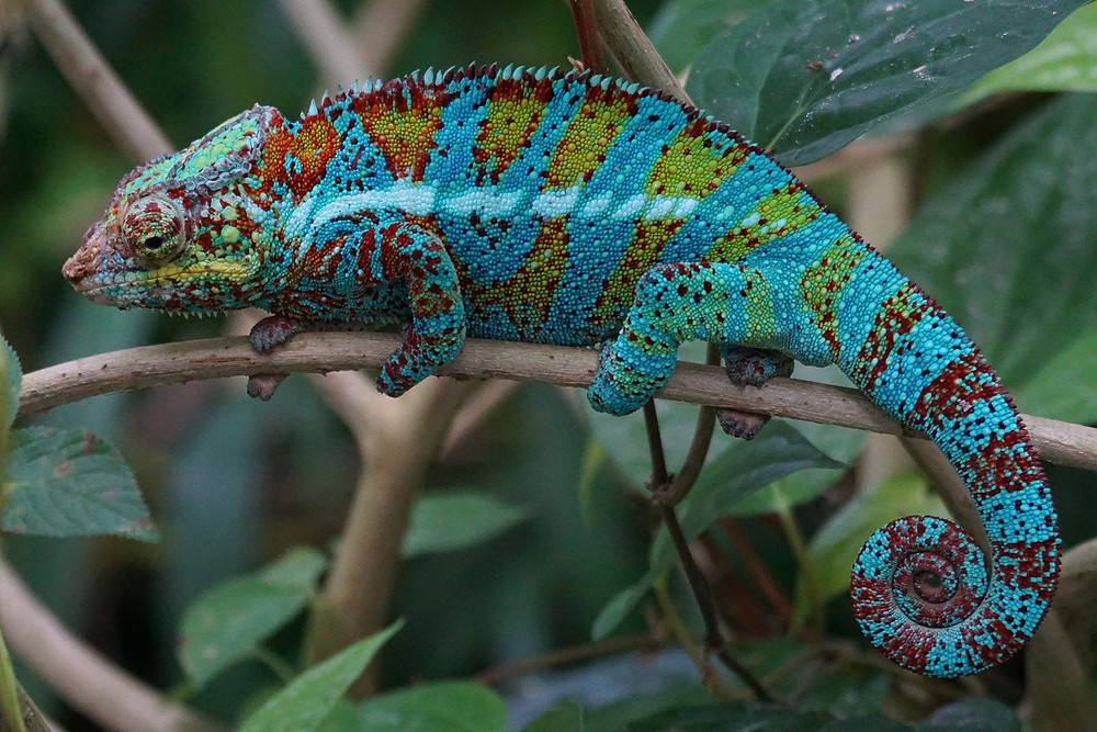 A beautiful blue, red and yellow chameleon grips a thin branch