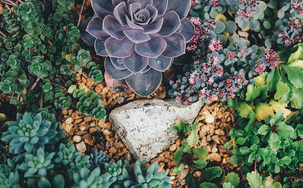 A close up view of a beautiful garden of different types of succulents growing through pebbles