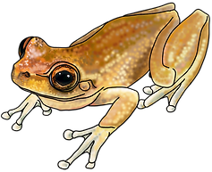 Litoria rheocola 03a small bright 3.png
