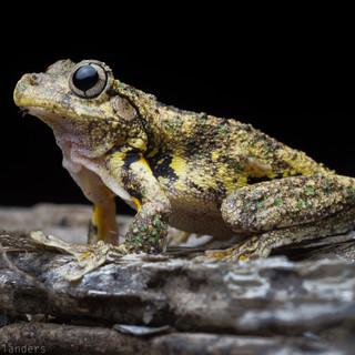 Emerald spotted tree frog (Litora peroni)