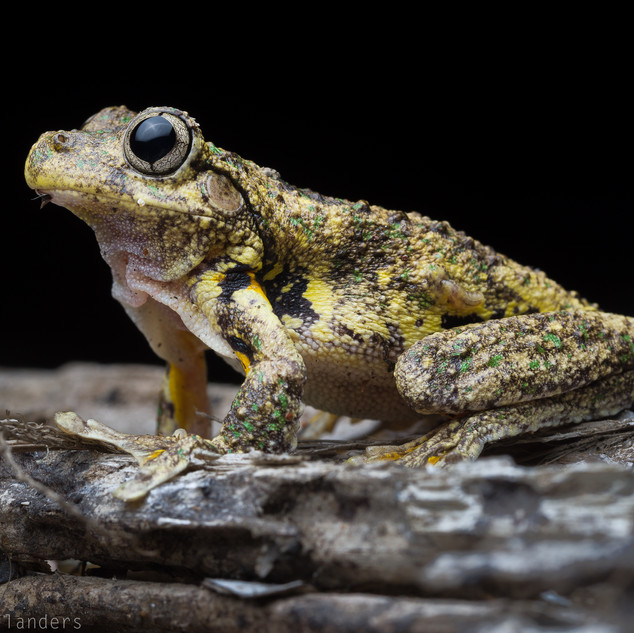 Emerald spotted tree frog (Litora peroni)
