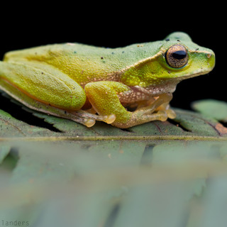 Mountain stream frog (Litoria barringtonensis)