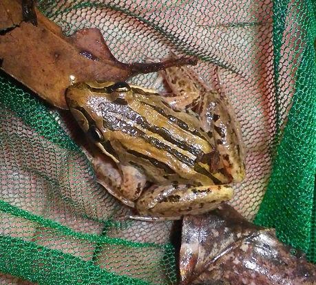 Striped marsh frog.jpg