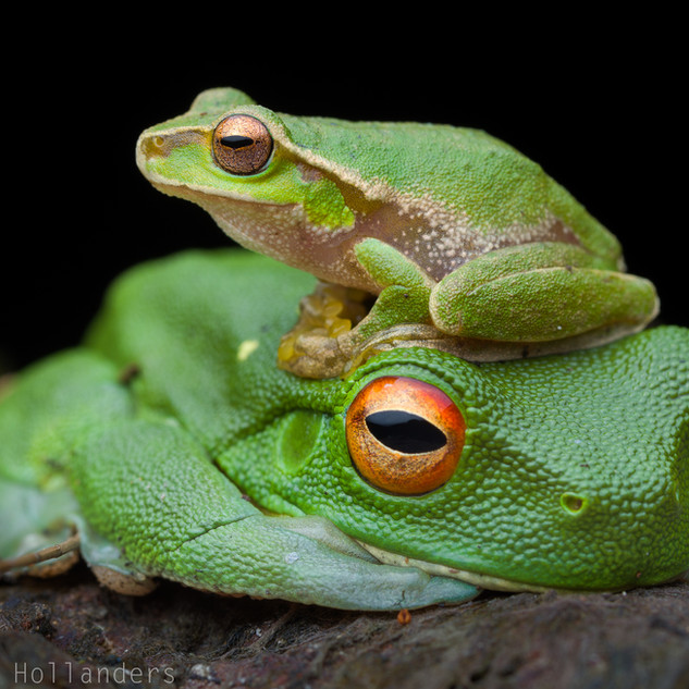 Cascade tree frog (Litoria pearsoniana) on red-eyed tree frog (L. chloris)
