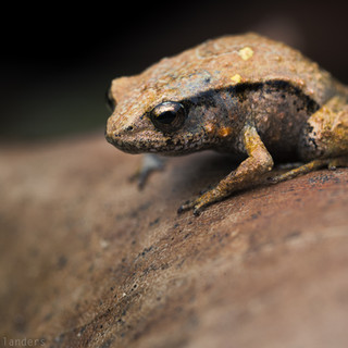 Pouched frog (Assa darlingtoni)