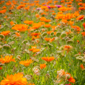 #PicOfTheWeek - Orange Flower Field