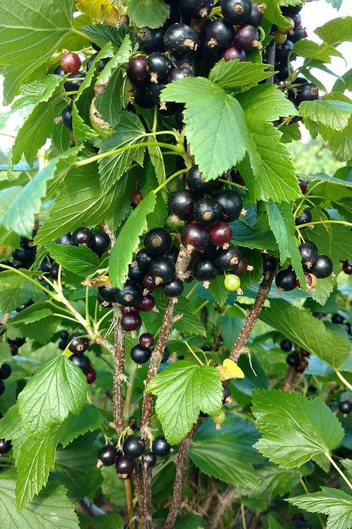 """""""Titania"""" Black Currant Medium Bare Root"""