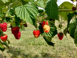 2018 Fall Red Raspberry U-Pick
