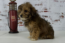 Cavapoo Puppies from Windy Acres Puppy Adoption