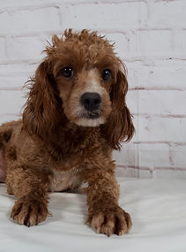 Cahokia Mother of Claire Cavapoo puppy from Windy Acres Puppy Adoptions