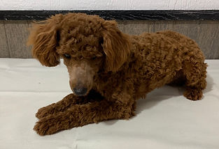 Chief Cavapoo male dog from Windy Acres Puppy Adoption
