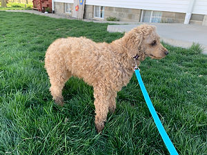 Father of Brady Cockapoo puppy from Windy Acres Puppy Adoptions
