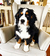 Mini Bernese Mountain Dog Puppies from Windy Acres Puppy Adoption