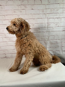 Bella Mother of Brandi Mini Goldendoodle puppy from Windy Acres Puppy Adoptions