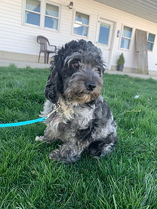Mother of Barney Cockapoo puppy from Windy Acres Puppy Adoptions