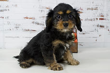 A Cavapoo puppy from Windy Acres Puppy Adoption