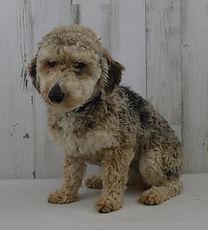 Kolby Father of Jake Toy Poodle Puppy
