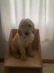 Sparky is a standard goldendoodle from Windy Acres Puppy Adoption