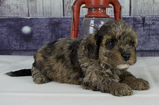 F1b Cavapoo from Windy Acres Puppy Adoption
