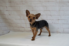 Jasper Father of Madie Yorkie puppy from Windy Acres Puppy Adoptions
