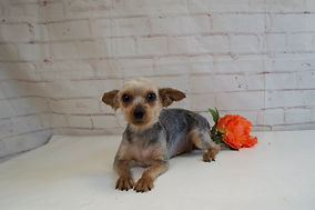 Navy Mother of Maddie Yorkie puppy from Windy Acres Puppy Adoptions