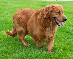 Duke Father of Gus Goldenretriever Puppy