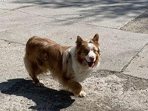 Milo Father of Lincoln Mini Aussie Puppy