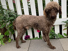 Sage Father of Ace Mini Poodle Puppy