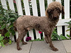 Sage Father of Tex Mini Poodle Puppy