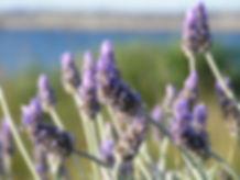 lavender-19235.jpg