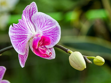 bigstock-Blooming-Orchid-close-up-118708