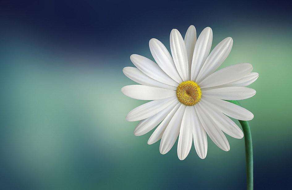 White Marguerite marguerite-729510.jpg
