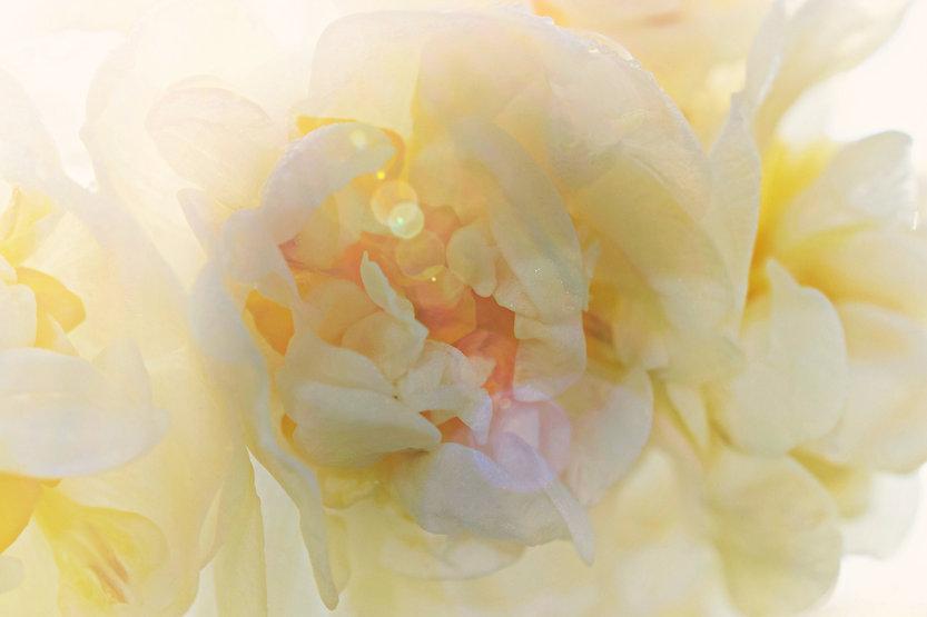 White Daffodil Inner Light daffodil-4792