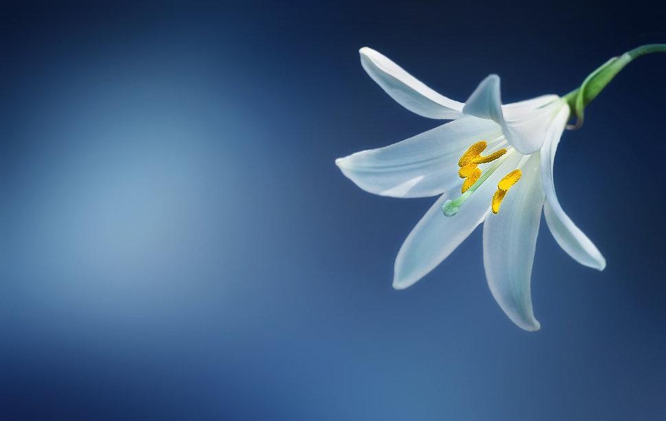 White Lilly flower-729514.jpg