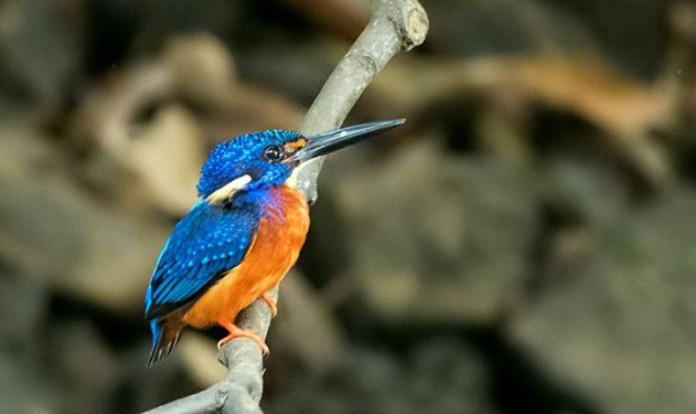NH 13 Sri Lankan Kingfisher Demo re.jpg