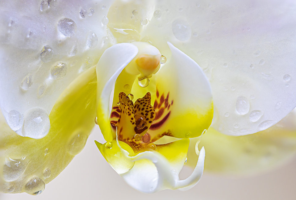 White Orchid orchid-4920533.jpg