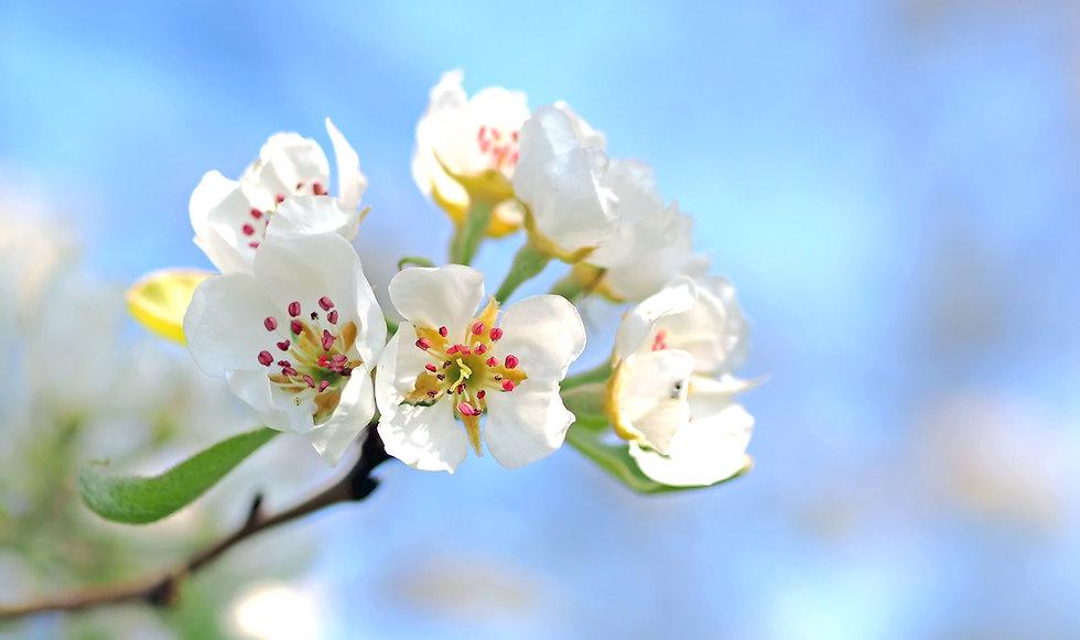 White Apple Blossoms apple-blossoms-1368