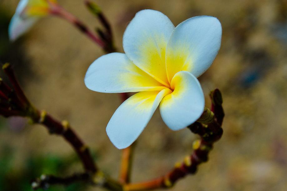 White Frangipani Single flowers-4189202.