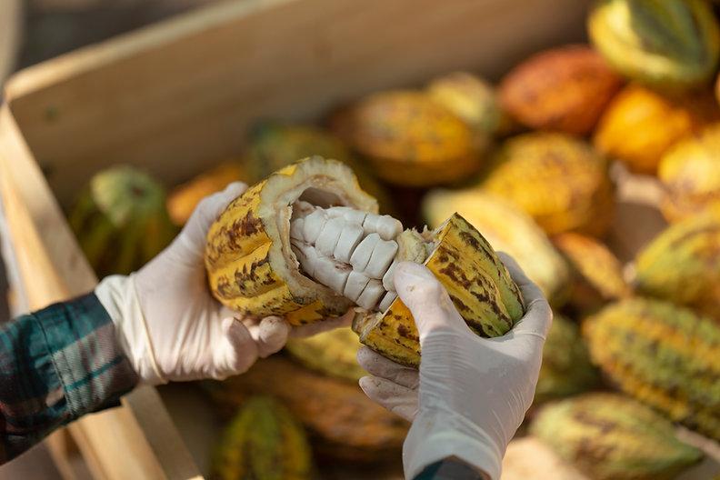 fresh-cocoa-with-cocoa-pods-cocoa-fruit-