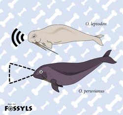 Feeding adaptation of Odobenocetops