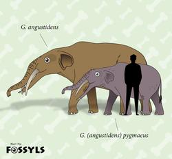 Gomphotherium pygmaeus size