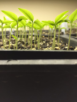 7 Pot Primo Seedlings