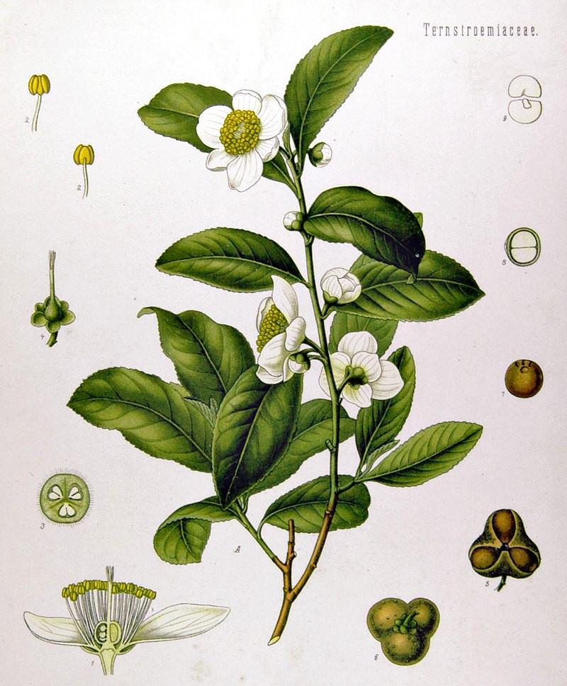 800px-Camellia_sinensis_-_Köhler–s_Medizinal-Pflanzen-025